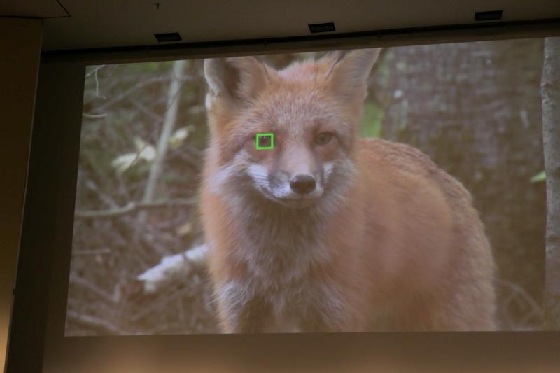 Red fox, Arctic fox, Churchill, Fox, Video, Fur, Kit fox, Footage, B-roll, Hunting, Canada, fauna, fox, red fox, whiskers, wildlife, snout, fur, kit fox