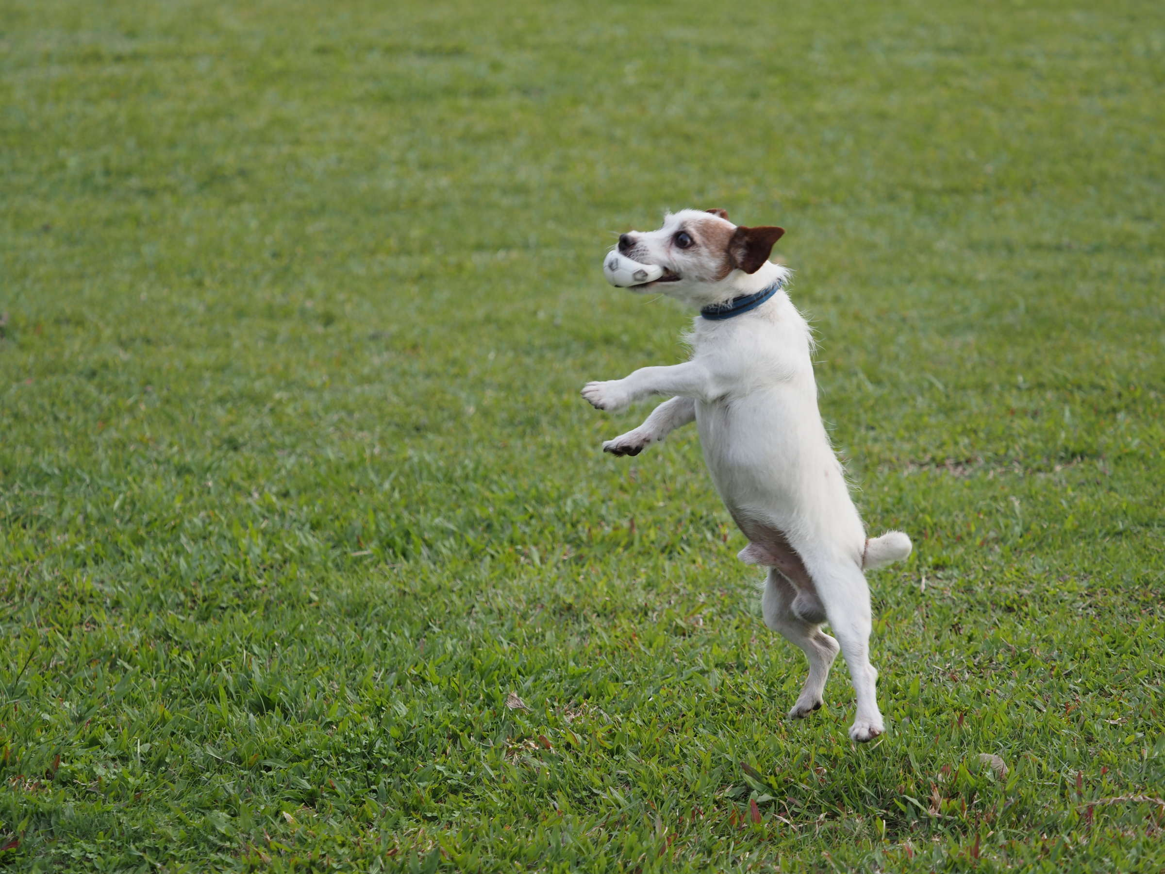 Dog breed, Whippet, Jack Russell Terrier, Longhaired Whippet, Lure coursing, Parson Russell Terrier, Companion dog, Terrier, Coursing, Breed, grass, dog breed, grass, lure coursing, whippet, dog breed group, meadow, companion dog, grass family, field, lawn