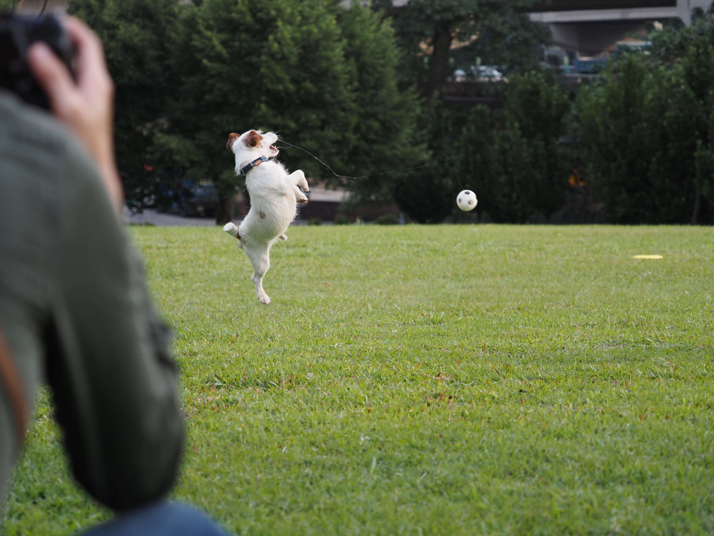 Dog, Obedience trial, Obedience training, Lawn, Tree, Training, grass, green, grass, lawn, plant, mammal, vertebrate, dog like mammal, dog, obedience trial, tree