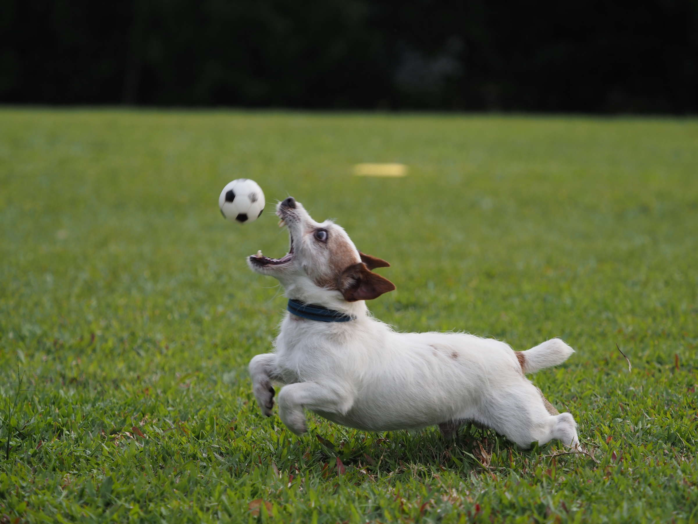 Dog breed, Jack Russell Terrier, Companion dog, Terrier, Gun dog, Breed, Lawn, Dog, grass, dog breed, grass, jack russell terrier, dog like mammal, companion dog, meadow, lawn, sporting group